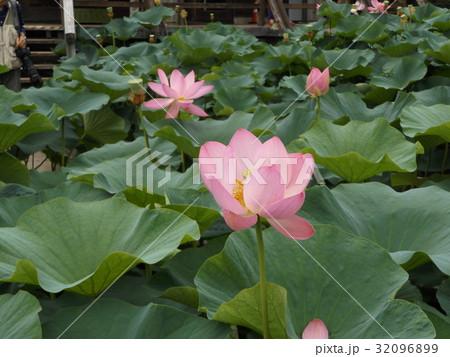 千葉公園のオオガハスの桃色の花 32096899