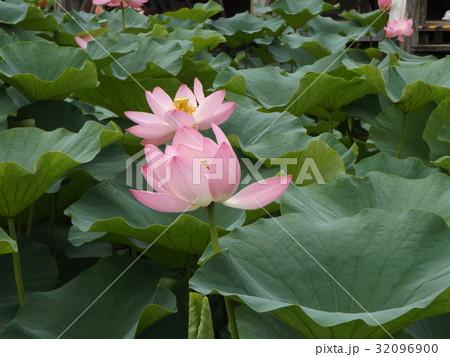 千葉公園のオオガハスの桃色の花 32096900
