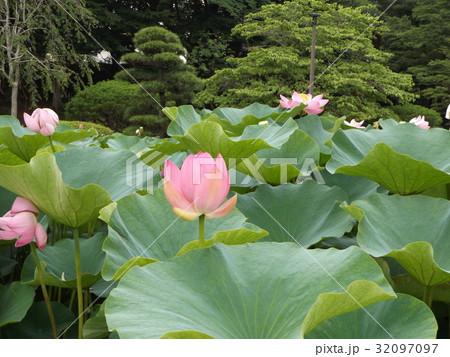 千葉公園のオオガハスの桃色の花 32097097