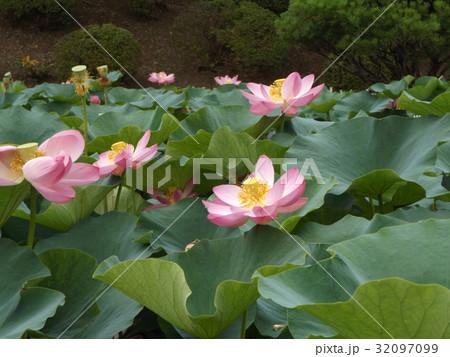 千葉公園のオオガハスの桃色の花 32097099