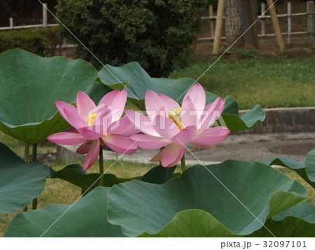 千葉公園のオオガハスの桃色の花 32097101