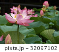 千葉公園のオオガハスの桃色の花 32097102
