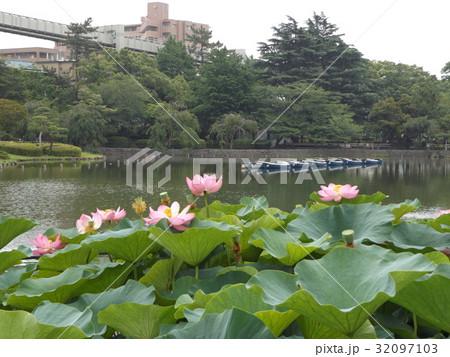 千葉公園のオオガハスの桃色の花 32097103