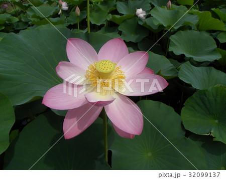 千葉公園のオオガハスの桃色の花 32099137