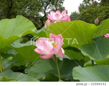 千葉公園のオオガハスの桃色の花 32099141