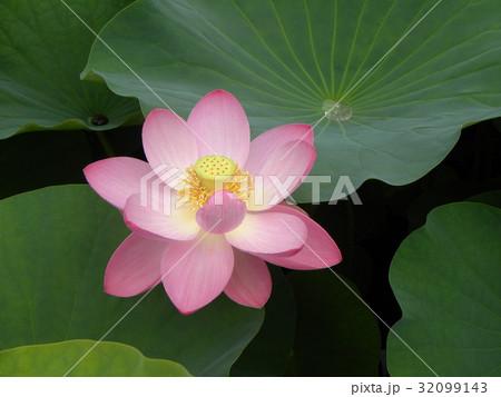千葉公園のオオガハスの桃色の花 32099143
