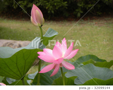 千葉公園のオオガハスの桃色の花 32099144