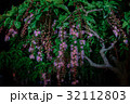 サワフジ 花 サガリバナ科の写真 32112803