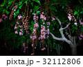 サワフジ 花 サガリバナ科の写真 32112806
