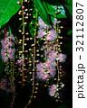 サワフジ 花 サガリバナ科の写真 32112807