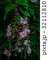 サワフジ 花 サガリバナ科の写真 32112810