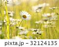 ヒナギク マーガレット 花の写真 32124135