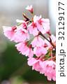 桜の花 32129177