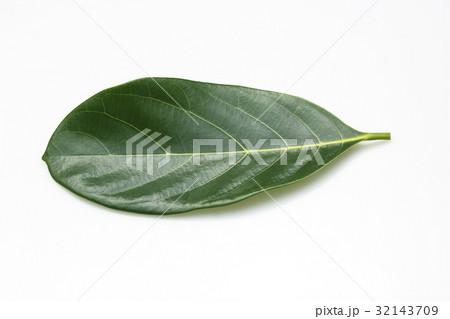 Leaves jackfruit 32143709