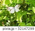 モンシロチョウ 昆虫 蝶の写真 32147299