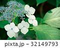 紫陽花 32149793