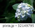 紫陽花 32149795