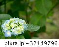 紫陽花 32149796
