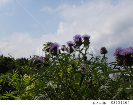 大きなアザミのようなカ-ルドンの花 32151164