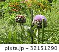大きなアザミのようなアンテーチョークの花 32151290