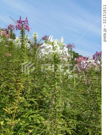 クレモナの白色と紫色の花 32151611
