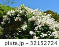 バラ 花 ローズガーデンの写真 32152724