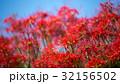 彼岸花 ヒガンバナ 花の写真 32156502