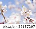 梅の花(白梅) 32157297