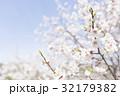 梅の花(白梅) 32179382
