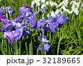 ショウブ ハナショウブ 花の写真 32189665