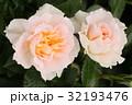 花 桃色 バラの写真 32193476