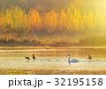 スワン ハクチョウ 白鳥の写真 32195158