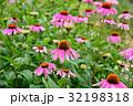 紫馬簾菊 バレンギク 花の写真 32198318