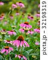 紫馬簾菊 バレンギク 花の写真 32198319