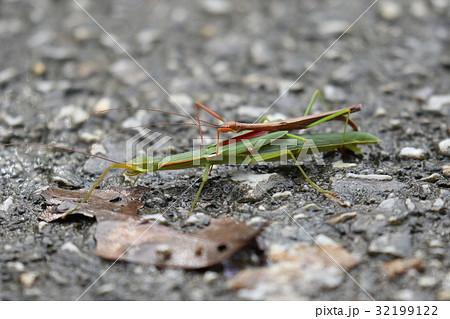 生き物 昆虫 リュウキュウトビナナフシ、トビナナフシの沖縄亜種だそうです。交尾を見られるのは沖縄だけ 32199122