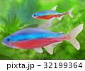 カージナルテトラ テトラ 熱帯魚のイラスト 32199364