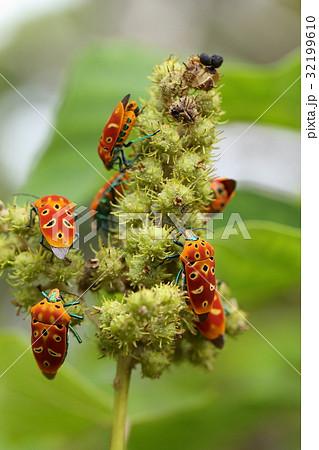 生き物 昆虫 アカギカメムシ、名前は『アカギ』とつきますが『アカメガシワ』が大好きだそうです 32199610