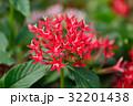 ペンタス 草山丹花 花の写真 32201438