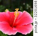 ピンクのハイビスカス 32201698