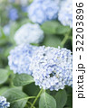 紫陽花 花 植物の写真 32203896