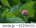 蓮 大賀蓮 蕾の写真 32204131