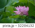蓮 大賀蓮 緑葉の写真 32204132