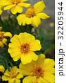 花 マリーゴールド 黄色の写真 32205944