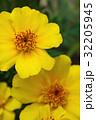 花 マリーゴールド 黄色の写真 32205945