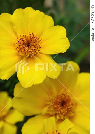 黄色が鮮やかなマリーゴールド 32205945