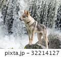 犬 チェコスロバキアン・ウルフドッグ 子犬の写真 32214127
