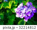 あじさい アジサイ 紫陽花の写真 32214812