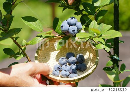 たわわに実ったブルーベリーの収穫 32218359