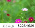 花 秋桜 植物の写真 32234689
