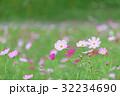 花 秋桜 植物の写真 32234690